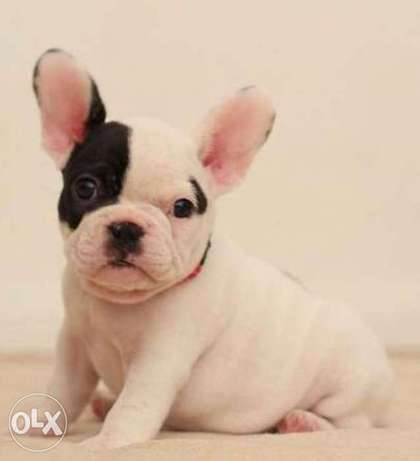 Imported French Bulldog puppies