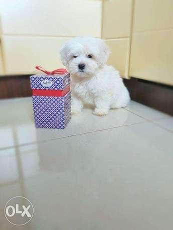 """The best of the best Imported Maltese puppies """"Top Quality"""""""