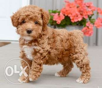 Beautiful teacup Poodle puppies available for sale