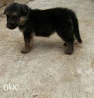 German shepherd puppies available ...