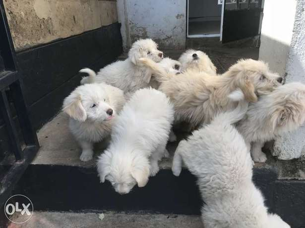 Pure Japanese spitz puppies South 'C' - image 1