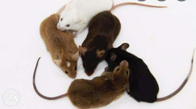 Mice all sizes