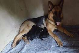 Highly Pedigreed German Shepherd Puppies for sale.