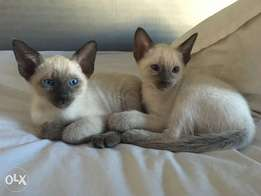 Siamese Seal point kittens for sale