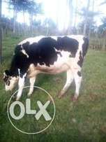 Get the best heifer for your self at desirably price