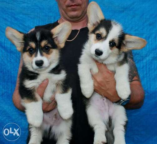 Cute Corgi Puppies حارة حريك -  1