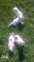 small dogs forsale