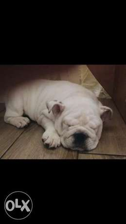 Imported English bulldog puppies top quality جراوي انجلش بولدوج مستورد