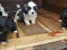 Gorgeous Maltese available