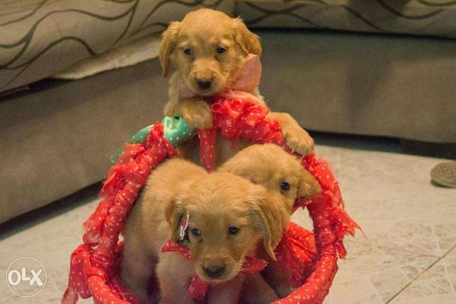 Available puppies pure Golden Retriever specialty color vaccinated