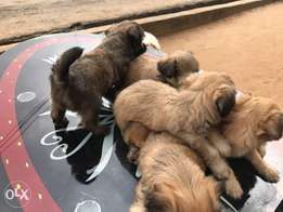 Lhasa apso puppies for sell 6 weeks old