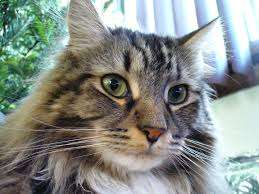 8 Maine coons for sale