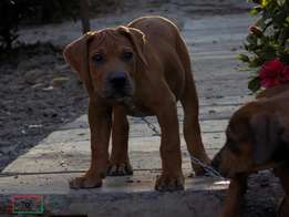 Female boer boel looking for a new home .. Call for booking