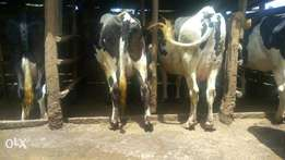 Dairy cows for sale.
