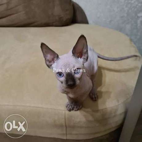 Canadian sphinx . Color cream with white bicolor point, blue-eyed.