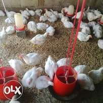 Broiler Chickens R45 negotiable if buy more than 100