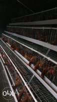 Automated chicken cages