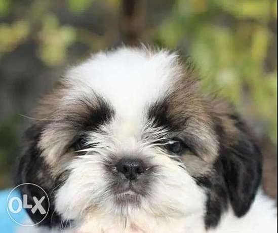 Imported Shihtzu From Ukraine Top Quality Best price