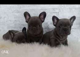 Best of the best imported BLUE French Bulldog puppies with all documen