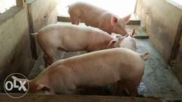 BRESCIA FARMS. PIGGERY. healthy Neat and strong pigs