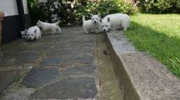 West Highland Terrier Puppies Looking For New Homes.