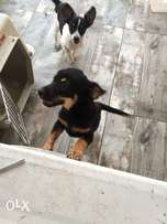 chihuahua puppy 2 month n 3weeks old 4 sale