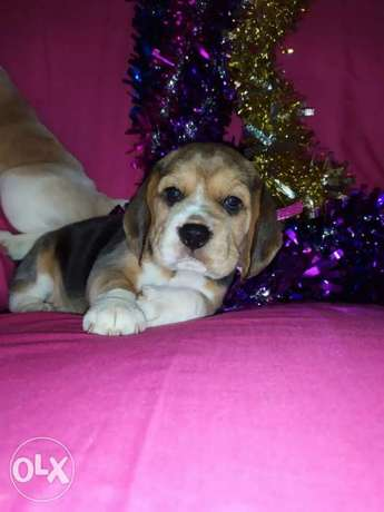 Imported Beagle Puppies