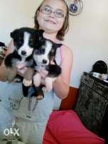 Pup's for sale