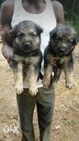 German Shepherd puppies both sex for sale at Osogbo