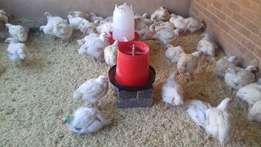 Negotiable Hand to Hand delivery Broilers and Cornish Chickens