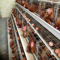 480 chicken Cages .special offer at 4M