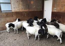 Dorper sheep ewes and rams