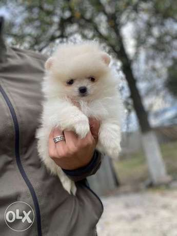 Best imported Teacup pomeranian puppies with Pedigree