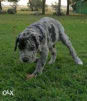 Great Dane male for sale