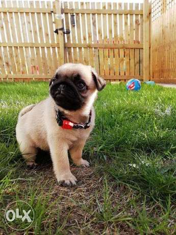 Pugs puppies for sale