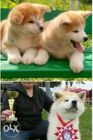 Japanese Akita.. Imported.. Premium quality.. With all documents