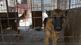 trained and vaccinated dogs for sale fro 70k trained germany sheperds