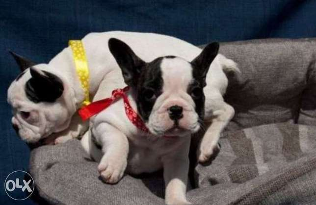 French bulldog, imported with all documents.. Males and females