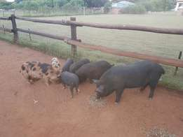 Pigs for sale x7