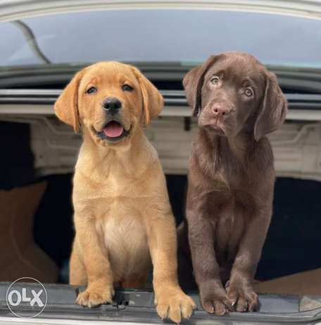 Best Labrador Puppies Imported From Ukraine Full Documents Best price