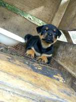 Box Head Rottweiler puppy available