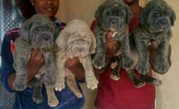 Superior Security Dog Neapolitan Mastiff Puppy / Puppies For Sale