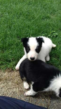 Pure Bred Border Collie Male Puppies Vryburg - image 5