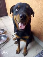 Adult Male rottweiler for sale..