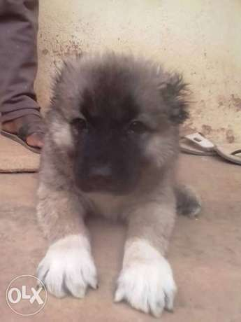 Caucasian puppies available both male and female Apapa - image 2