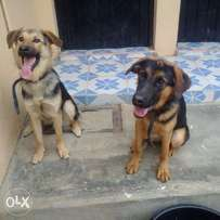 German shepherd dogs for quick sale