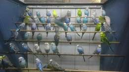 Young show budgies for