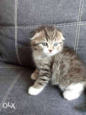 Imported Scottish Fold male 2 months