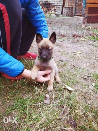 One Last Male Malinois Available