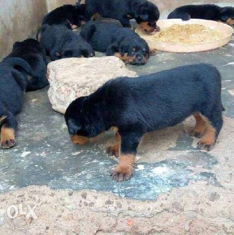 Super healthy box head rottweiler puppies for sale Ibadan South East - image 2